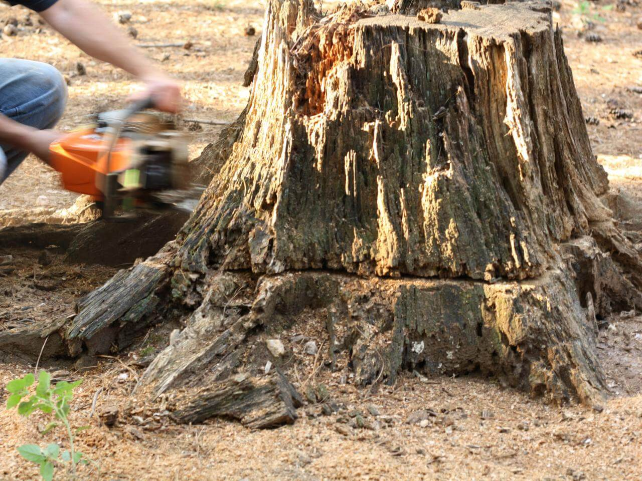 Stump Removal-Temecula Tree Trimming and Stump Grinding Services-We Offer Tree Trimming Services, Tree Removal, Tree Pruning, Tree Cutting, Residential and Commercial Tree Trimming Services, Storm Damage, Emergency Tree Removal, Land Clearing, Tree Companies, Tree Care Service, Stump Grinding, and we're the Best Tree Trimming Company Near You Guaranteed!